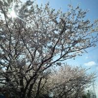今年の桜シリーズ8