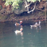 12/10探鳥記録写真-2(頓田貯水池の鳥たち:オシドリ他)