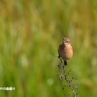 今日の野鳥・・・ノビタキ・・・多くいたけど。。
