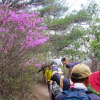 23 中山連山(478m:兵庫県宝塚市)縦走登山  ツツジのトンネルにて