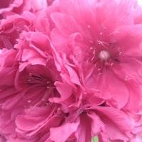 桃の花の妖精