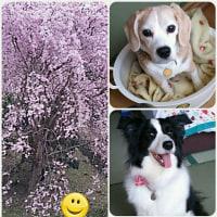 春の松阪ワンパラ旅行♪ 中編