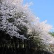 日影原の桜が満開に