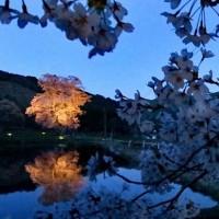 夜の 千鳥別尺ヤマザクラ in 広島・庄原市