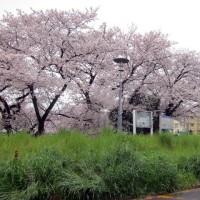 桜 パート2