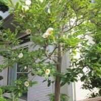 沙羅双樹の花の開花