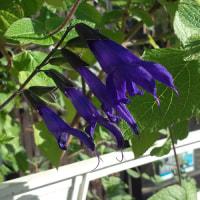 サルビア・グアラニティカが咲いています