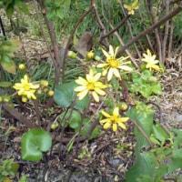 好古園の秋 石蕗の花