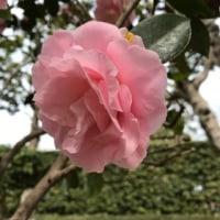 丘の上にヒナゲシの花〜〜