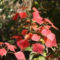 庭の紅葉(ウルシ、ナンキンハゼ)と臨時休業のお知らせ