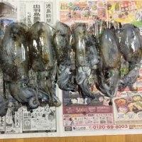 徳島のアオリイカは豊漁???