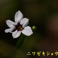2017/05/20 今朝の庭 アスパラが咲く