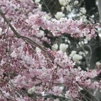 京都に桜を観に行きました。