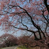 木曽川堤防道路のエドヒガン桜