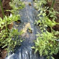 大まさりをトマトと混植