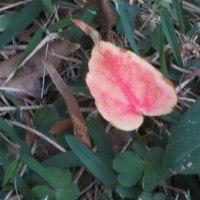 夕方急いで教室に向かっていたとき、ふと足元を見ると薄いピンクの葉っぱが!