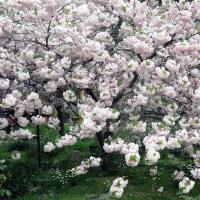 ハ重桜と靴下市