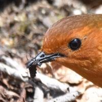 野鳥はやはり自然な姿が一番!「コマドリ採餌」