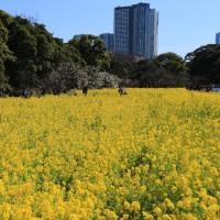★菜の花の浜離宮~築地