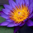 花は熱帯スイレン