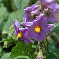 レッドムーンの花