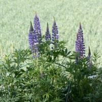 高原の花ルピナス咲く