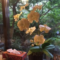 見事な胡蝶蘭