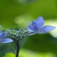 紫陽花の季節(Ⅴ)