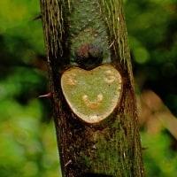何か動物の顔に見えてくる葉痕:カラスザンショウの葉痕