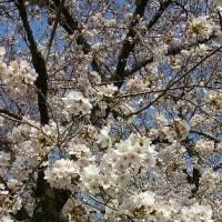 学習センターの桜が咲きました!
