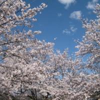 今年の満開の桜 2017年4月