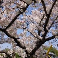 桜もチューリップも満開