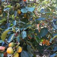 果樹たち。