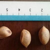巨大なマツポックリから大きな松の実が採れる チョウセンゴヨウ
