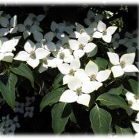 初夏の花(^^♪花の姿が、比叡山延暦寺の「山法師」に似ている「ヤマボウシ(山法師)」