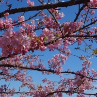 河津桜と海