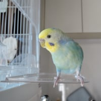 【655】耐寒仕様の背黄青鸚哥