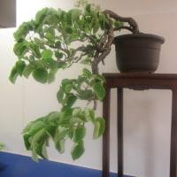 大阪の高島屋に1億円の盆栽観に行ってきた