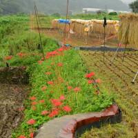 雨の日のヒガンバナ②