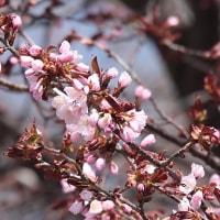 桜が咲いていたです!!