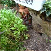 エキナセアを植える