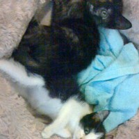 子猫2匹預かり日記:白黒ちゃん譲渡完了