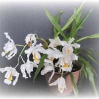 セロジネ(4)セロジネ・クリスタータ Coel. cristata(原種)