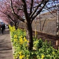河津桜とまぐろ  三浦海岸へ行こう!
