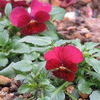 ジョウビタキと花