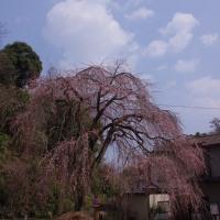 あじな桜は未だ3分咲 2017.3.28