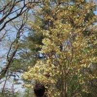 花見山の桜