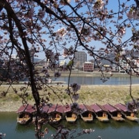 長良川河畔桜開花情報です。