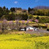 大井町篠窪地区の「菜の花」と「春めき桜」と「富士山」
