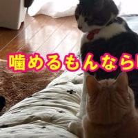 去勢済♂猫だいずが発情し、先住♀猫こむぎを噛む